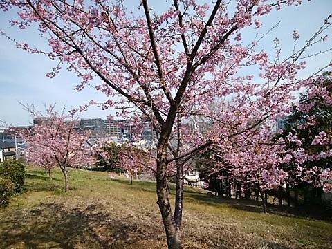 八幡山公園河津桜