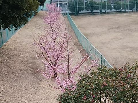神之木台公園河津桜