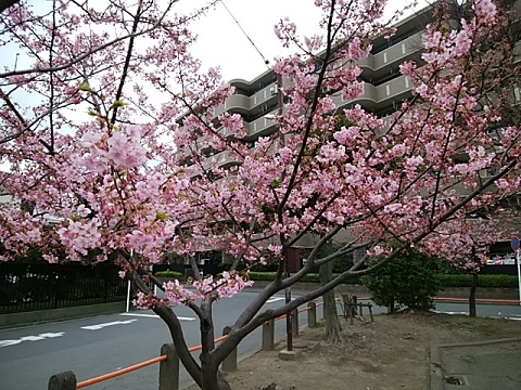 """鋼管通り第二児童公園河津桜"""""""