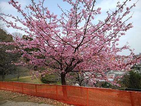 西寺尾の丘公園河津桜