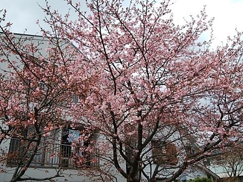 大曽根第二公園河津桜