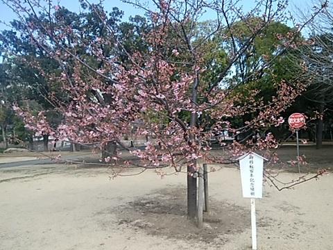 總持寺の河津桜