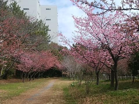 海風の森河津桜