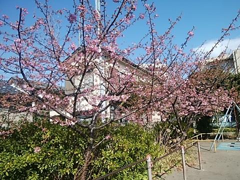 若草第一公園河津桜