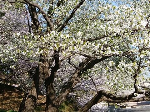 神之木台公園桜