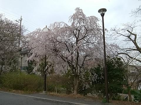 白幡池公園しだれ桜