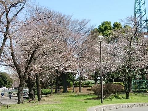 大師公園桜