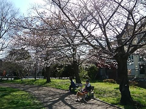 桜川公園桜