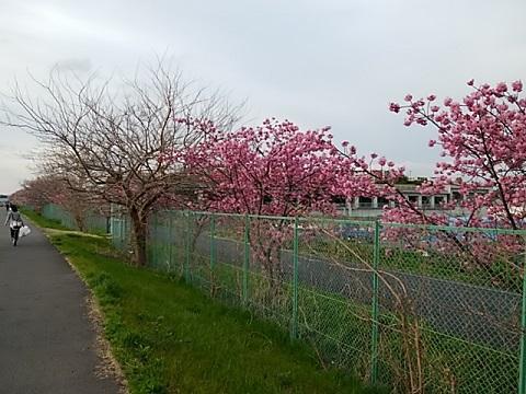 太尾土手の横浜緋桜
