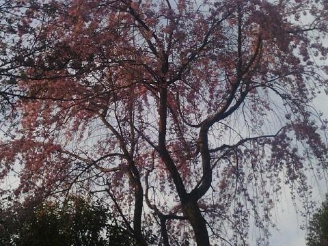 大倉山公園しだれ桜