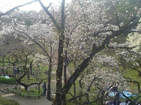 大倉山公園ソメイヨシノ