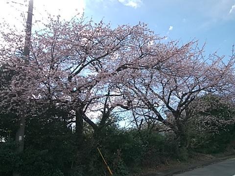 下田5丁目大寒桜