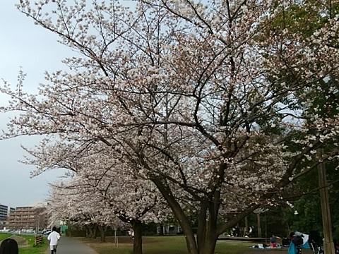 新横浜公園の染井吉野