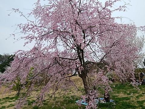 県立四季の森公園紅枝垂れ
