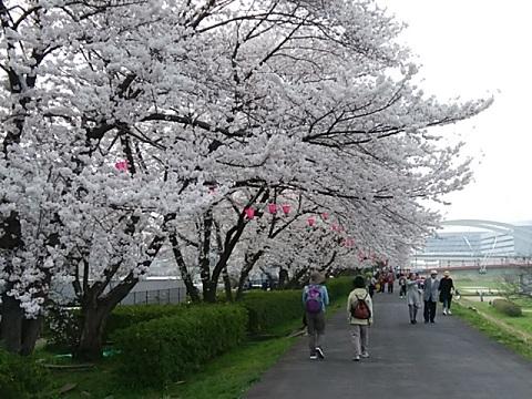 鶴見川土手の桜並木