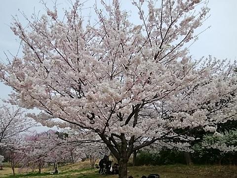 県立四季の森公園小彼岸桜