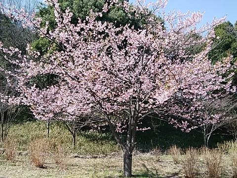 県立四季の森公園寒桜