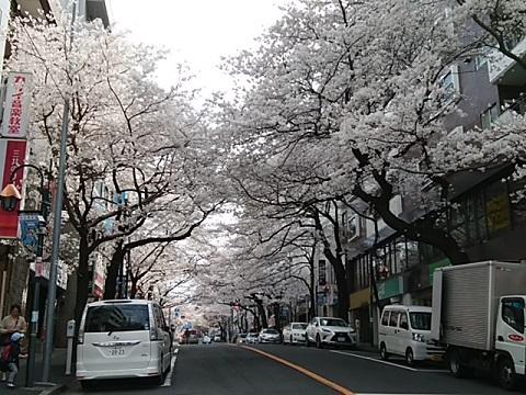 鷺沼駅前桜並木
