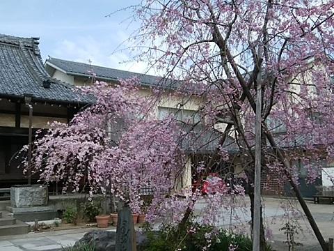 無量寺の八重紅枝垂