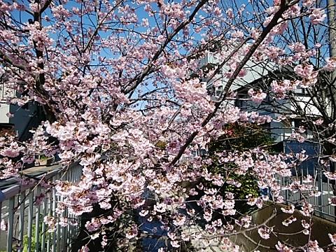 二ヶ領用水寒桜