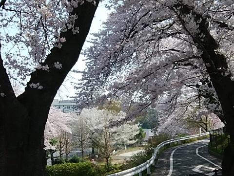 さくらが丘公園桜