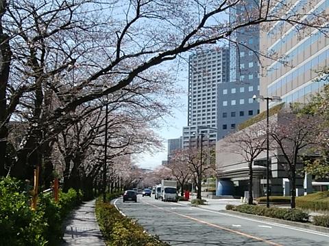 川崎駅西口桜