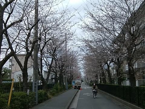新栄会通り桜