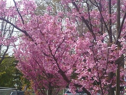 夢見ヶ崎公園桜