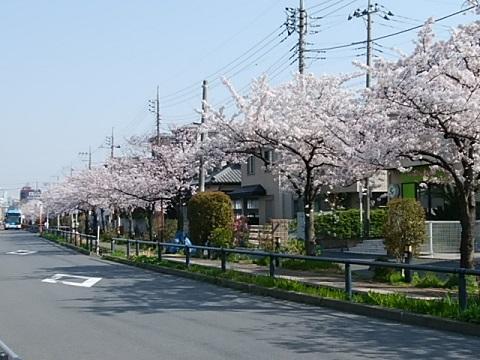 江川せせらぎ遊歩道桜