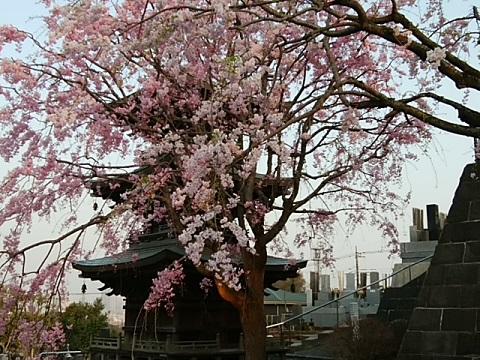 明鏡寺枝垂れ桜