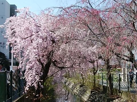 二ヶ領用水しだれ桜