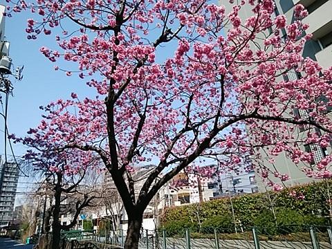 二ヶ領用水寒緋桜