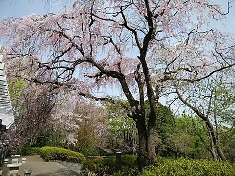 つつじ山しだれ桜