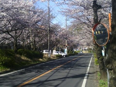 女子大東通り桜並木