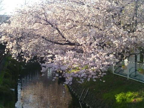 二ヶ領本川桜並木