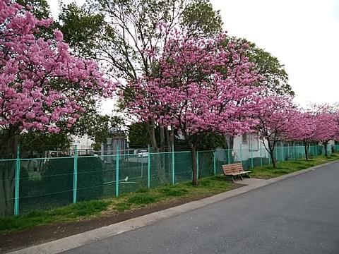 芦穂橋横浜緋桜