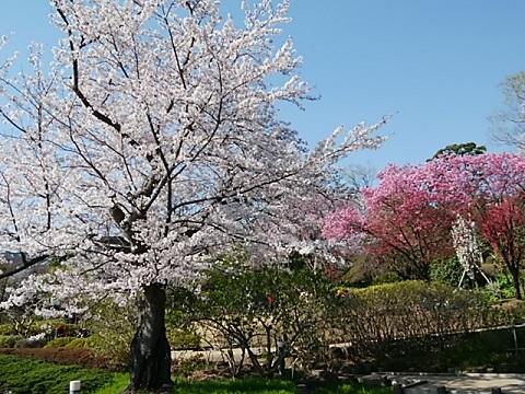 馬場花木園桜