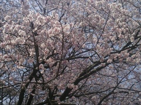 三ツ池公園越の彼岸桜