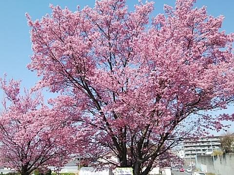 川和ゴルフのオカメ桜