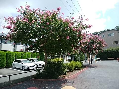 日吉本町第三公園百日紅