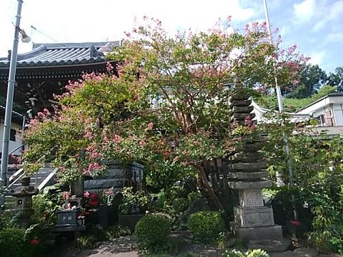 寿福寺百日紅