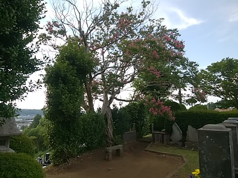 妙蓮寺の墓地百日紅