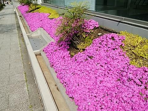 あざみ野2芝桜