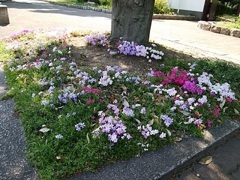 大師公園芝桜