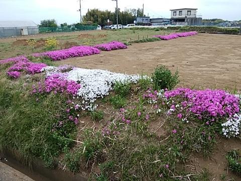 東方農業専用区域芝桜