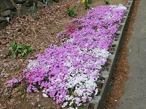日吉公園芝桜