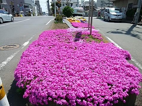 市場上町芝桜