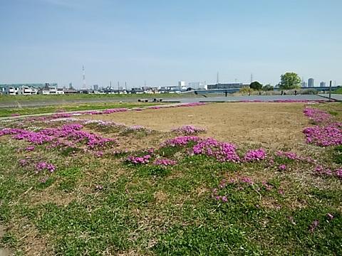 駒岡大曲広場芝桜