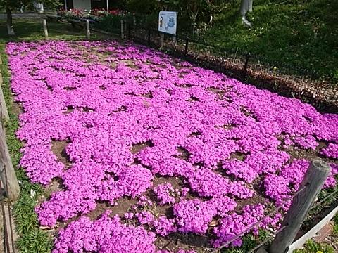 さいわいふるさと公園芝桜