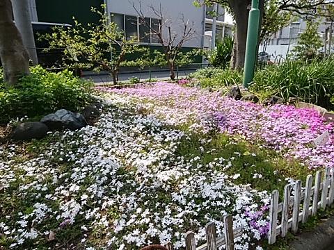 さいわい緑道芝桜
